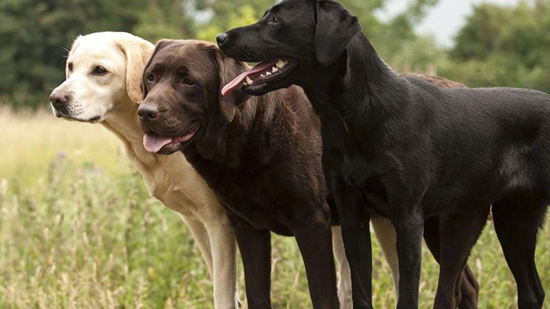 Allevamento Labrador con Pedigree a Milano